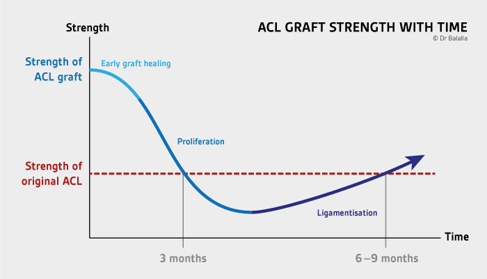 ACL graft healing