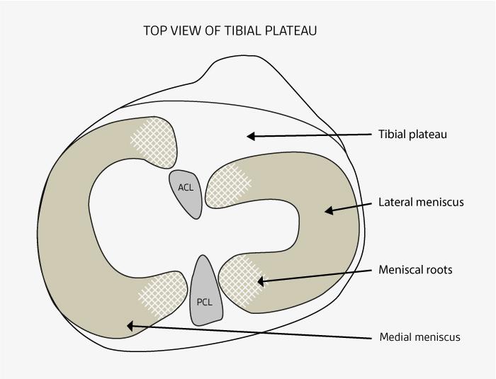 meniscus-root